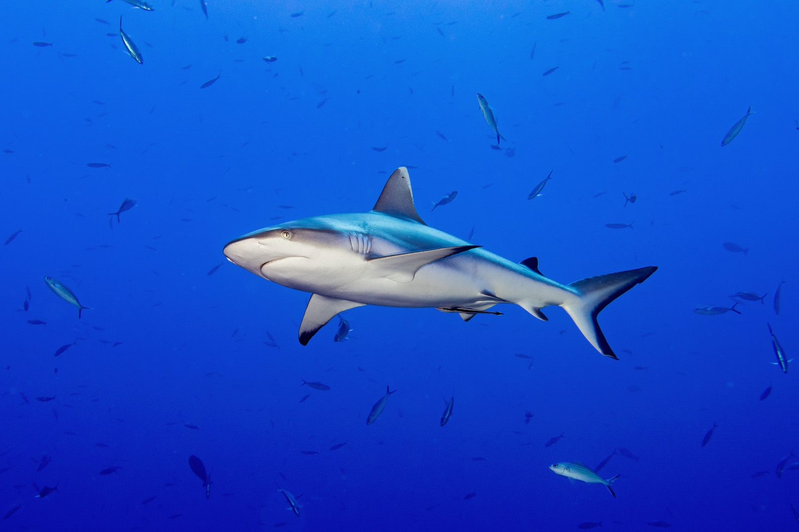 best shark diving maldives cheap